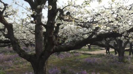 17、砀山梨花节·2