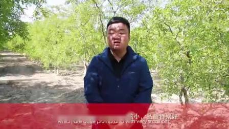 """【中国有约】""""趁枣""""发财 麦盖提县小红枣助推巩固脱贫成果"""