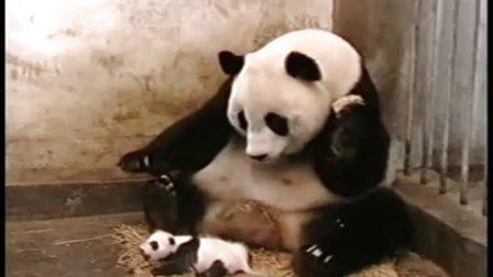熊猫宝宝打喷嚏 吓屎她娘了