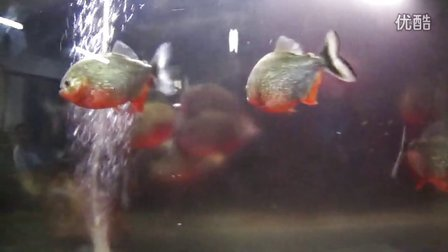 食人鱼秒杀黄鳝2