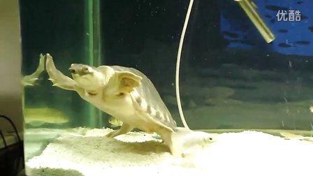 (20110425)20cm大猪鼻龟 吃鱼