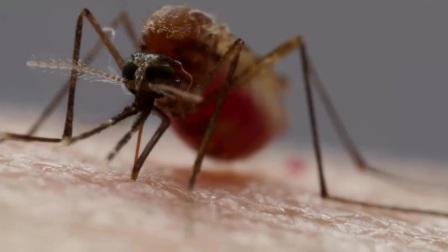 """蚊子是如何用6根""""针""""吸血的"""