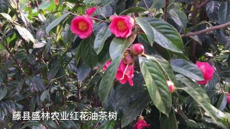 大果红花油茶开花树图片及视频  大果红花油茶种植基地树苗批发公司