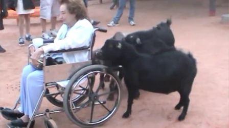 搞笑的山羊--滑稽视频