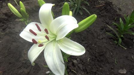 新栽的百合花