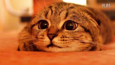 聚精会神的苏格兰折耳猫,大眼睛好萌