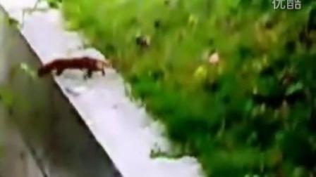【哇哈哦哦】黄鼠狼掉进水渠,小伙伴们接力咬尾巴救援