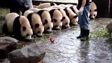 """""""熊猫占座喝牛奶""""  来晚就没地了"""