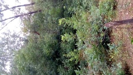 美国黑核桃 猴头核桃文玩核桃树苗金丝猴头核桃  美国长山核桃 树苗