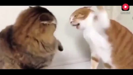 俩猫咪打架,其中一只一看就练过