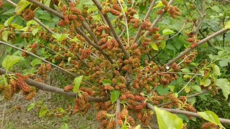 丰产的桑树品种,高产的果桑品种,桑葚哪个品种产量最高,桑葚产量1万多斤是不是骗人