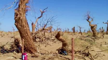 内蒙古阿拉善盟 额济纳旗 【怪树林】—微纪录片