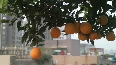 我家奇石果蔬园柑桔丰收了!