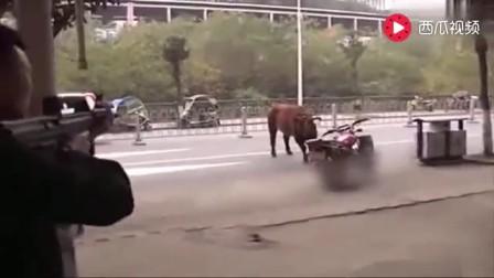 实拍黄牛上街伤人,特警开枪将牛击毙,现场枪声不断