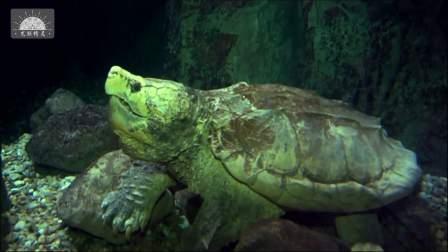 【原种真鳄龟】 辛辛那提养的最好的一只大型原种真鳄龟-原版超清1080P