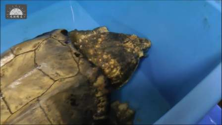 【原种真鳄龟】日本玩家给他的黄金真鳄龟喂秋刀鱼 -原版超清1080P