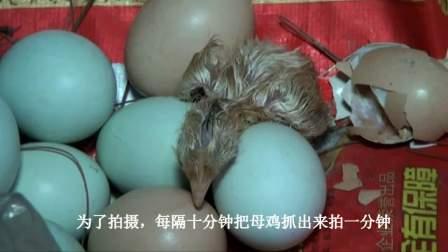 母鸡哺小鸡