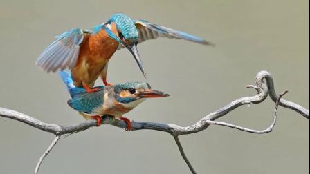翠鸟蜜月期----(摄影:上海-老马)
