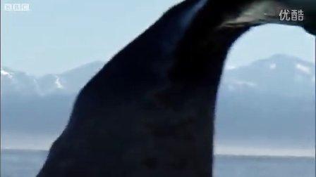 凯库拉的暗色斑纹海豚和雄性抹香鲸!BBC 纪录片《南太平洋》