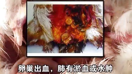 番鸭养殖技术:如何识别鸭大肠杆菌病?