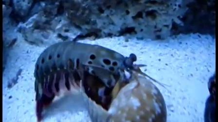 雀尾螳螂虾 VS 几种甲壳类