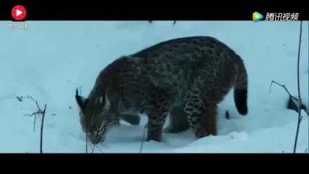 美洲猞猁雪地上追杀一只狐狸,三秒定生死