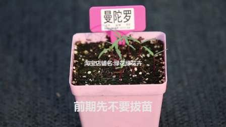 曼陀罗的种植方法