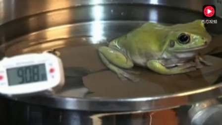 实验:温水煮青蛙,青蛙真的到死都不会跳出来