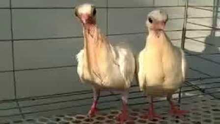 精品白金鱼观赏鸽价格 金鱼眼鸽多少钱一对
