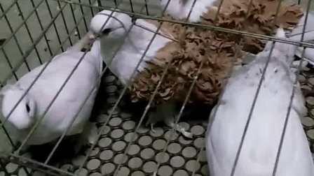 白头特别鸽价格 观赏特别鸽 黄马甲芙蓉种鸽多少钱