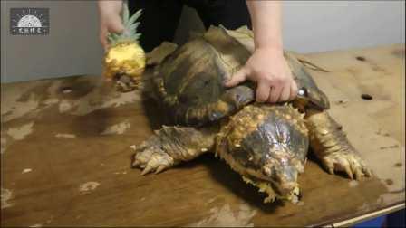 【原种真鳄龟】用菠萝测试黄金大鳄龟的咬力 -原版超清1080P