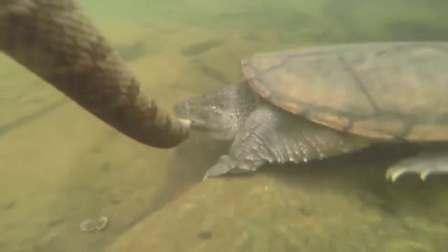 凶猛的鳄龟在水底捕食水蛇