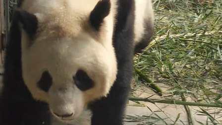 西安秦岭野生动物园大熊猫,2018岳卓辰