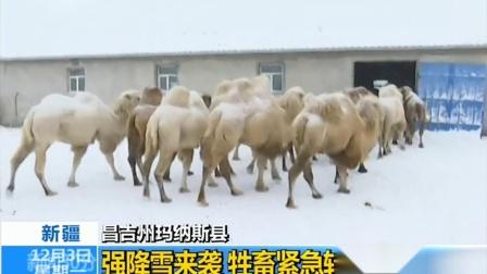 昌吉州玛纳斯县:强降雪来袭 牲畜紧急转场回圈