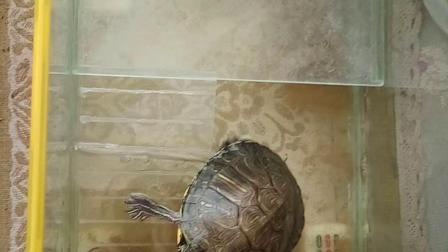 优然酱的宠物巴西龟🇧🇷