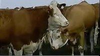养牛技术 秸秆养牛技术 肉牛养殖技术 肉牛养殖场