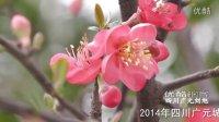 [拍客]2014年春:四川广元城区海棠花儿盛开
