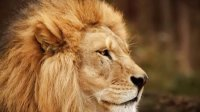 流浪雄狮偷吃地主雄狮的猎物被围攻