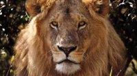 长颈鹿踢死狮子