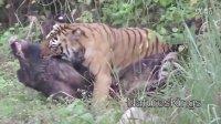 老虎捕杀野猪