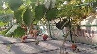 格陆谷济南项目:草莓悬挂立体无土栽培