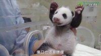 """台北市立动物园 熊猫宝宝 """"圆仔"""" 超催泪成長日記配音版"""
