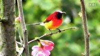 漂亮鸟儿--蓝喉太阳鸟(1)