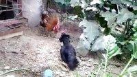 斗鸡:4个月元宝鸡VS大白耳【勇气可嘉 霸气十足】