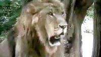 雄狮吓跑雌虎