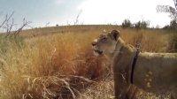 Kevin Richardson 利用Gopro让你体验狮子的捕猎瞬间