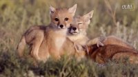 [K分享] 萌萌哒!国家地理花费数年拍摄野生小狐狸