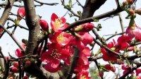 [过年][拍客]2015年春节四川广元城区:海橖开花红艳艳
