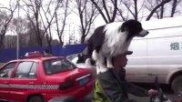 牧羊犬——拉菲
