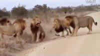 鳄鱼捕杀豹子 河马咬断狮子下颚
